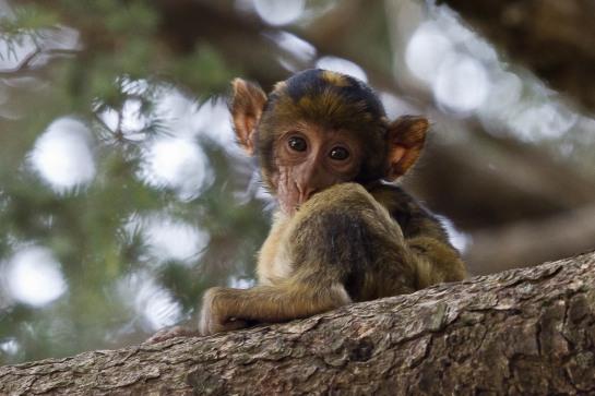 macaco 13 (1 de 1)