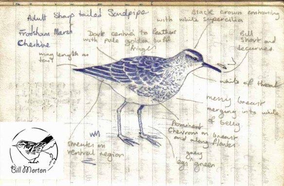 birding-note-book-1982-sharp-tailed-sandpiper-copy