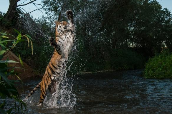 Tigre saltando Joan-43
