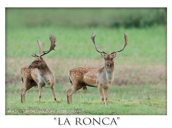 ronca12