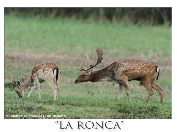 ronca2