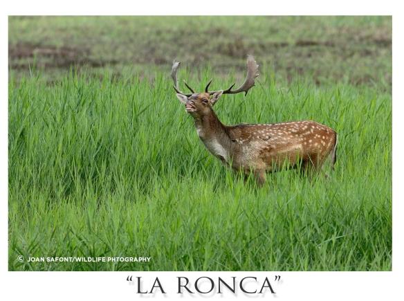 ronca4.jpg
