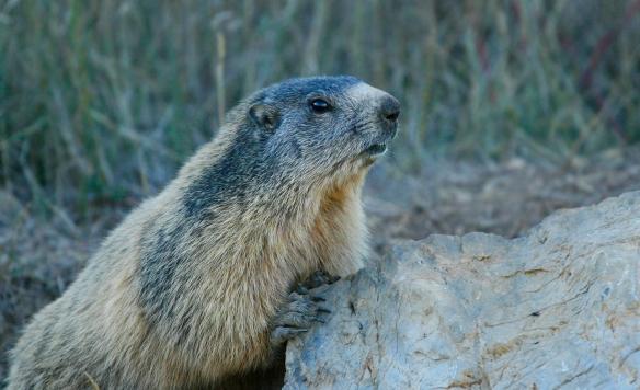 marmota_closeup 2